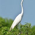 Headless Great Egret by Lindy Pollard
