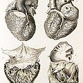 Heart, Anatomical Illustration, 1814 by Wellcome Images