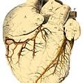 Heart Anatomy, 18th Century by