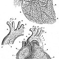 Heart Anatomy, Illustration, 1703 by Wellcome Images