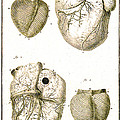Heart And Muscle Fibers, 18th Century by Wellcome Images