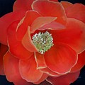 Heart-centered Rose by Karen Jane Jones