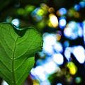 Heart Leaf by Rachel Rutstein