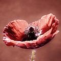 Heart Of A Poppy by Barbara St Jean