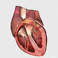 Heart Valves Showing Pulmonary Valve by Stocktrek Images