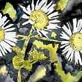 Heath Aster Flower Art Print by Derek Mccrea