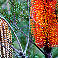 Heath Banksia From Fairfax Walk by Miroslava Jurcik