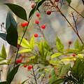 Heavenly Bamboo by Sandra Peery