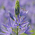 Heavenly Blue Camassia by Byron Varvarigos