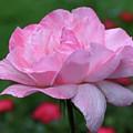 Heavenly Pink Rose by Smilin Eyes  Treasures