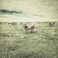 Cows by Tricia Elliott