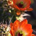 Hedgehog Flowers In Dawn's Early Light  by Saija Lehtonen