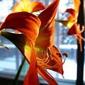 Heirloom Amaryllis  by Karen Sloan
