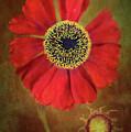 Helenium Beauty by Alenka Krek
