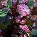 Heliborus Early Flower Buds 1 by Douglas Barnett