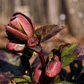 Heliborus Early Flower Buds 2 by Douglas Barnett