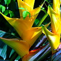 Heliconia Caribea Gold by Karon Melillo DeVega