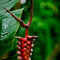 Heliconia by Christopher Holmes