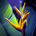 Heliconia Rhizomes by Luciano Comba