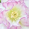 Hellebore Blossom  by Regina Geoghan