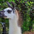 Hello Llama by Soni Macy
