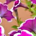 Hello Petunia by Corinne Rhode