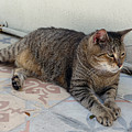 Hemingway Polydactyl Cat by Catherine Sherman