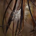 Hemp Dogbane Seeds by Rowena Throckmorton