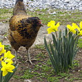 Hen And Daffodils by Sally Weigand