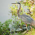 Henry The Great Blue Heron by Cathie Moog