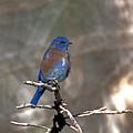 Henrys Western Bluebird by Eric  Nelson