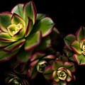 Hens And Chicks by Venetta Archer