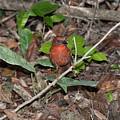 Hepatic Tanager At The Coba Ruins by Carol Ailles