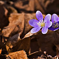 Hepatica Flower by Michael Whitaker