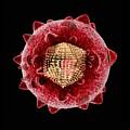 Hepatitis C Virus, Artwork by Mehau Kulyk