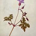 Herb Robert - Wild Geranium  #flower by John Edwards