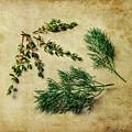 Herbs #022 by Hans Janssen