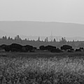 Herd Of Bison Grazing Panorama Bw by Michael Ver Sprill