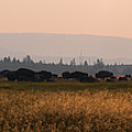 Herd Of Bison Grazing Panorama by Michael Ver Sprill