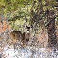 Herd Of Mule Deer In Deep Snow by Steve Krull