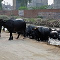Herd Of Water Buffaloes Emerges From Canal Lahore Pakistan by Imran Ahmed