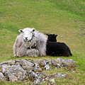 Herdwick Sheep On A Hillside In Cumbria by Louise Heusinkveld