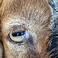 Here's Looking At You Kid - The Truth About Goats' Eyes by Barbie Corbett-Newmin