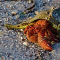 Hermit Crab- Florida by ME Procopio
