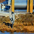 Heron Along The Shore by Lisa Wooten