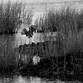 Heron And Grass In B/w by William Selander