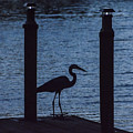 Heron At Dusk by Phil Horton
