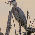 Heron by Buddy Scott