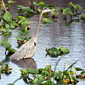 Heron Fishing In The Everglades by Marty Koch