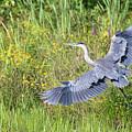 Heron Flight by Bill Wakeley